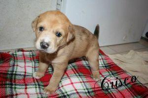 Adopt Crisco On Australian Shepherd Dogs Australian Shepherd Walker Hound