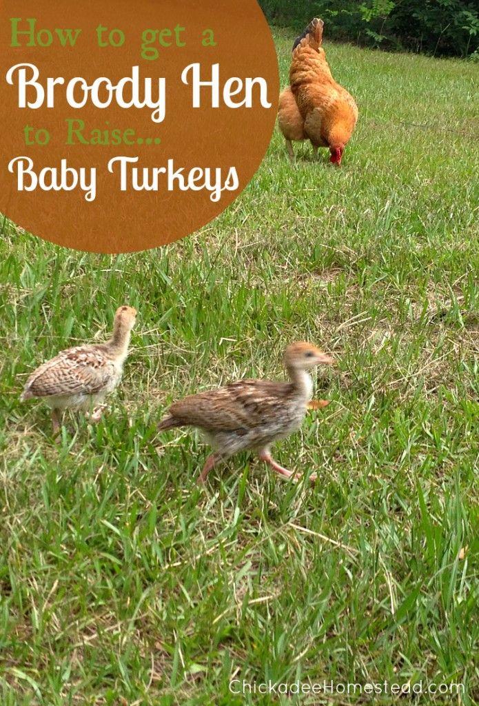 how to get a broody hen to raise baby turkeys chickadee homestead com