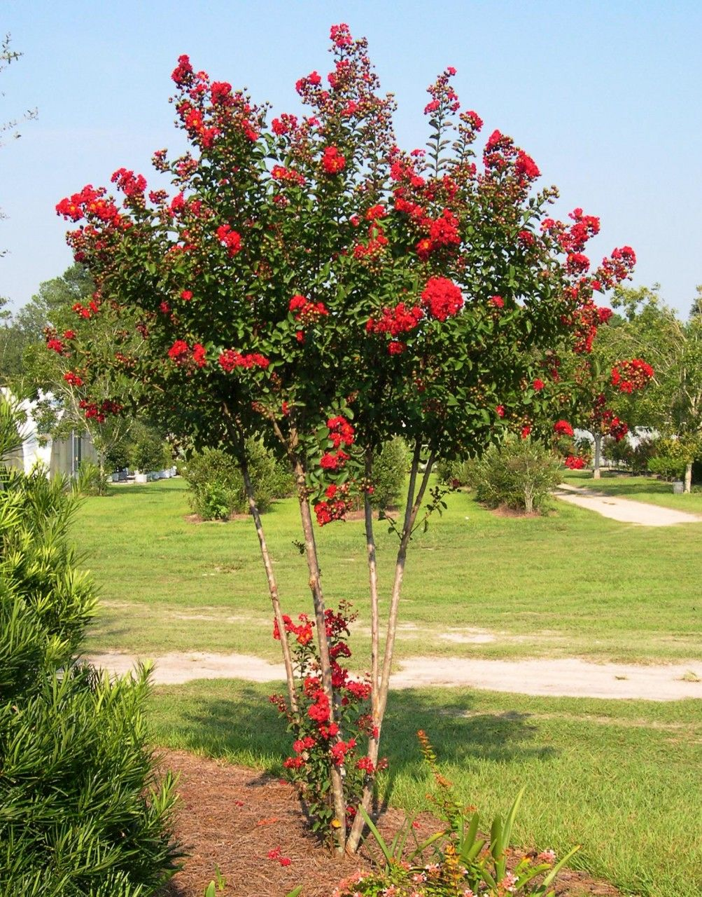 Red rocket crape myrtle uk charleston west virginia casino poker