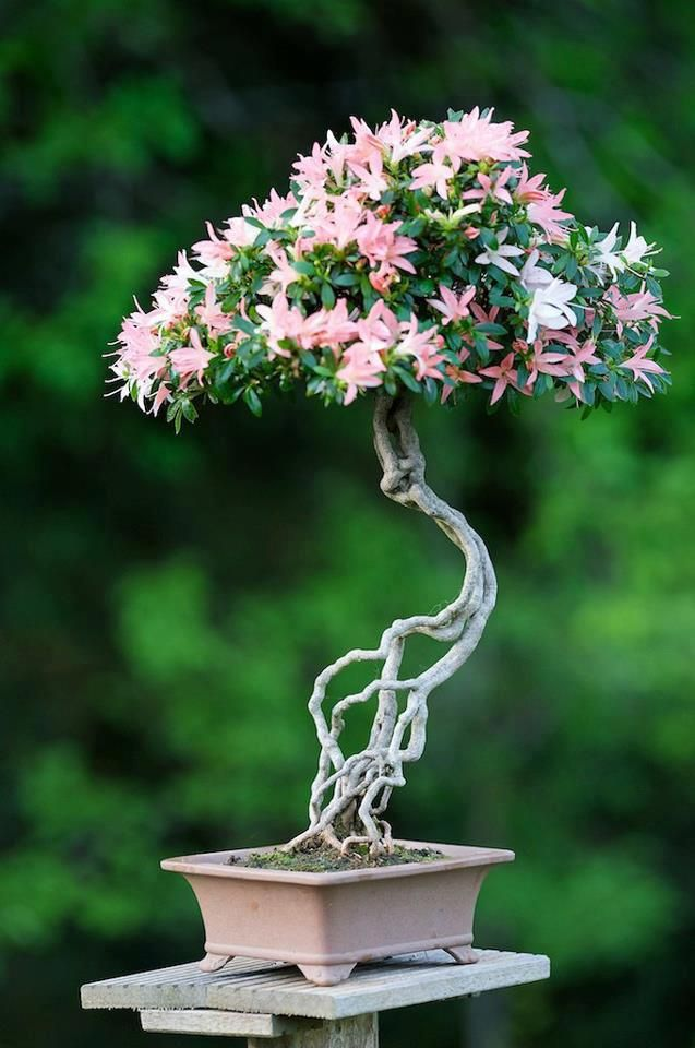 Did You Observe This Intrincate Trunk? And The Flowers... Bonsai Wonder!