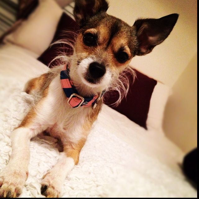 Jack Russell X Long Hair Chihuahua Mix With A Little Beard