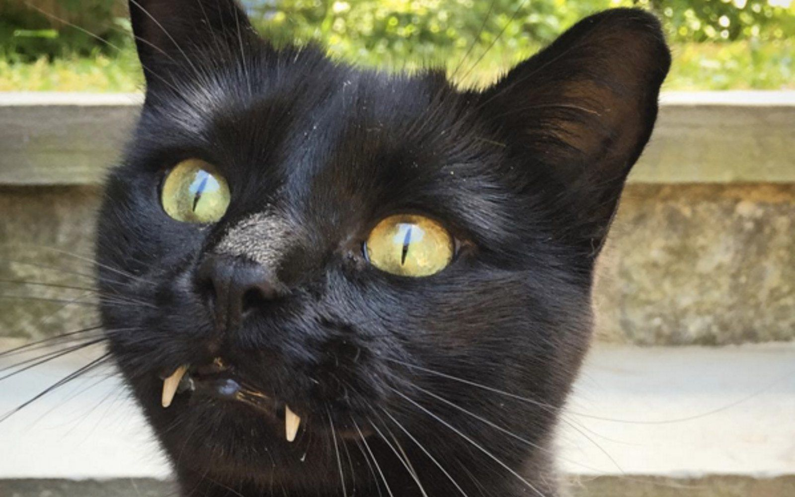 This Black Cat With Vampire Teeth Will Seduce You Into
