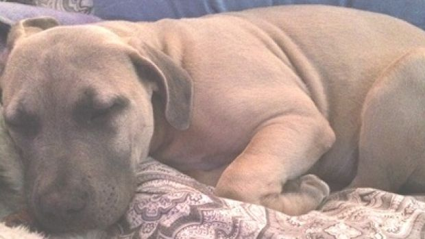Dogged Determination Stolen Puppy Recovered By Edmonton Police Cbc News Pitbull Puppies Puppies Dogs