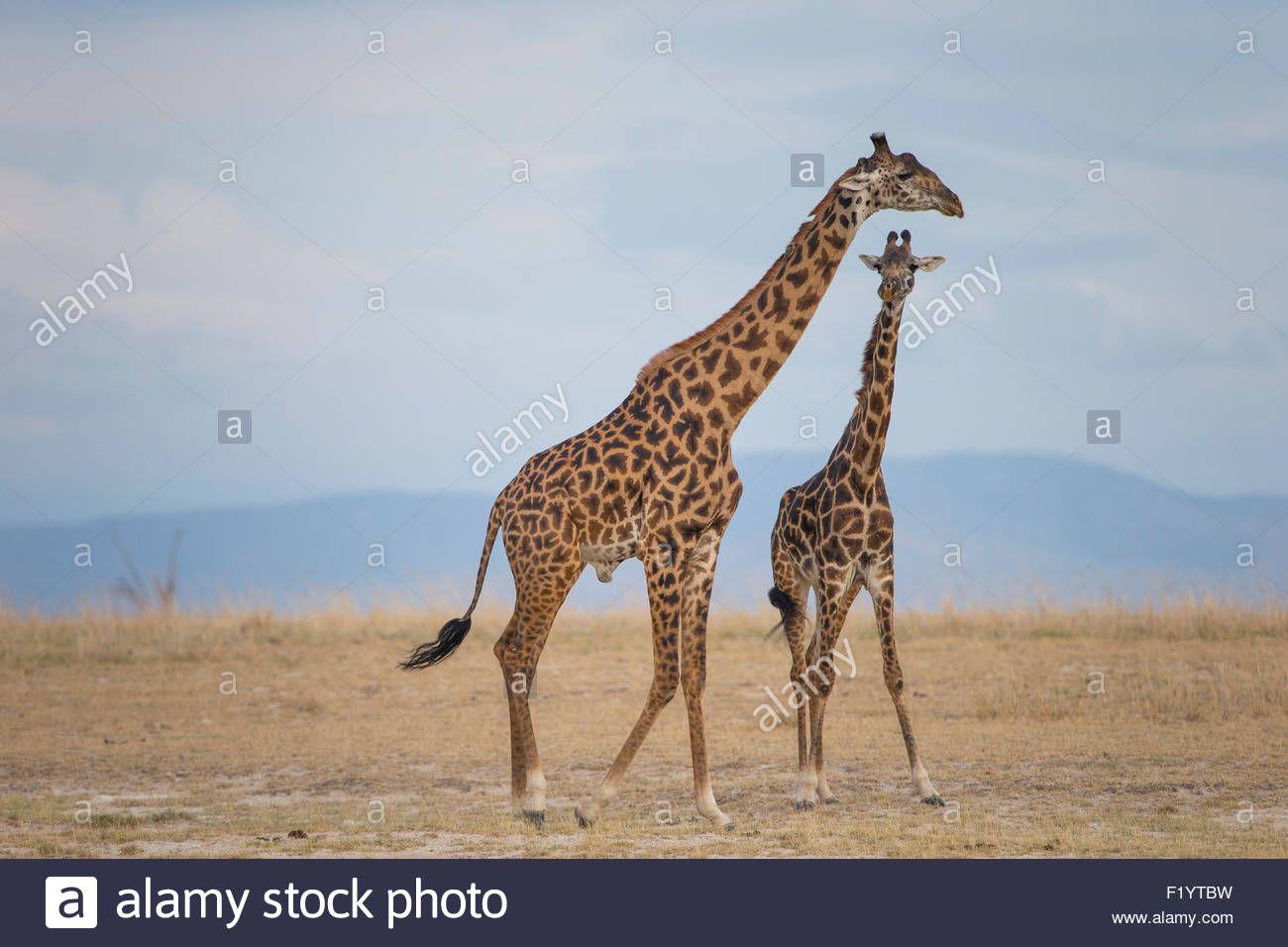 Download this stock image Masai Giraffe (Giraffa