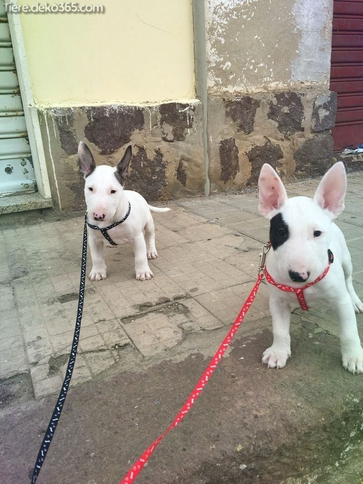 Photo of Magical pictures and information Terrier Bull Terrier