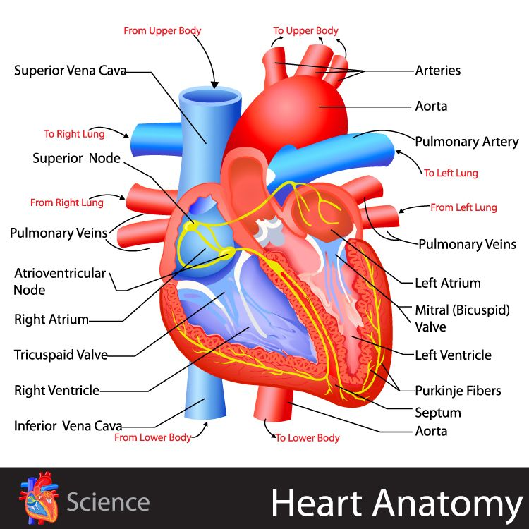 Heart Anatomy - click for the free study guide on the circulatory ...
