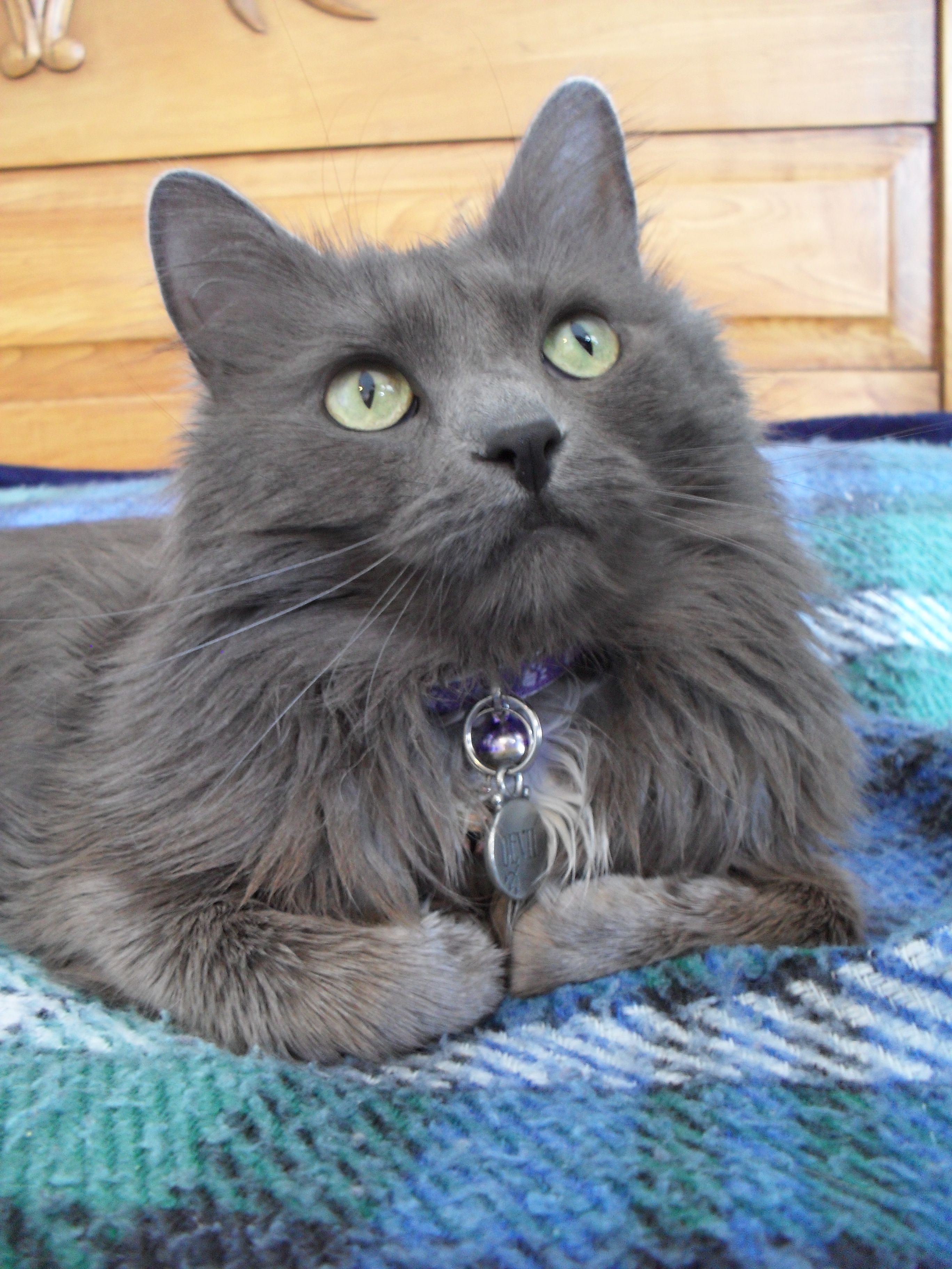 Russian Blue Maine Coon Cat - Animal Friends