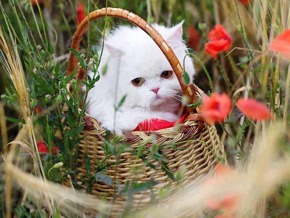 Most Beautiful Cats Flower Field Wallpaper White Persian Kittens