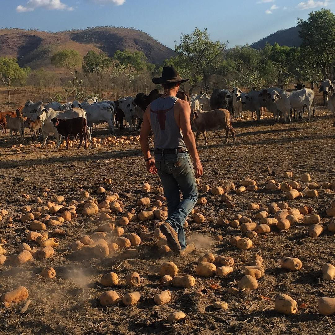 Kimberley pumpkins and fat cattle #ringerswestern #ringerforadollar http://ift.tt/1VSP58U