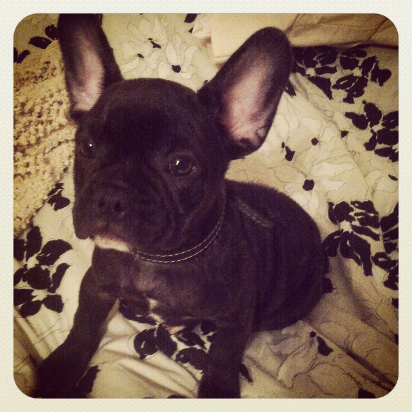 I will own this dog one day french bulldog