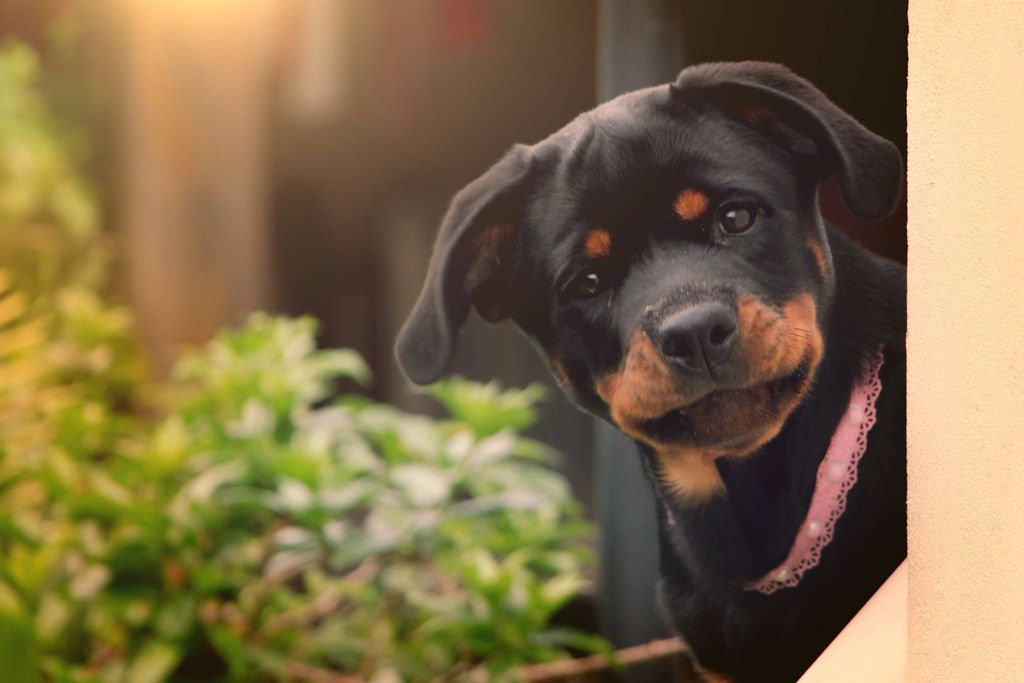 Rottweiler Pup on Francis Costalonga's photos on Flickr.