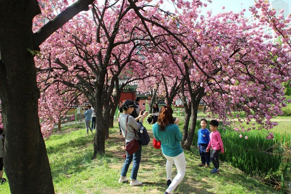Korea Cherry Blossom 2021 Forecast The Best Time 9 Best Places To See Cherry Blossoms In Korea Living Nomads Travel Tips Guides News Information Beauty Places Cherry Blossom Quotes About Photography