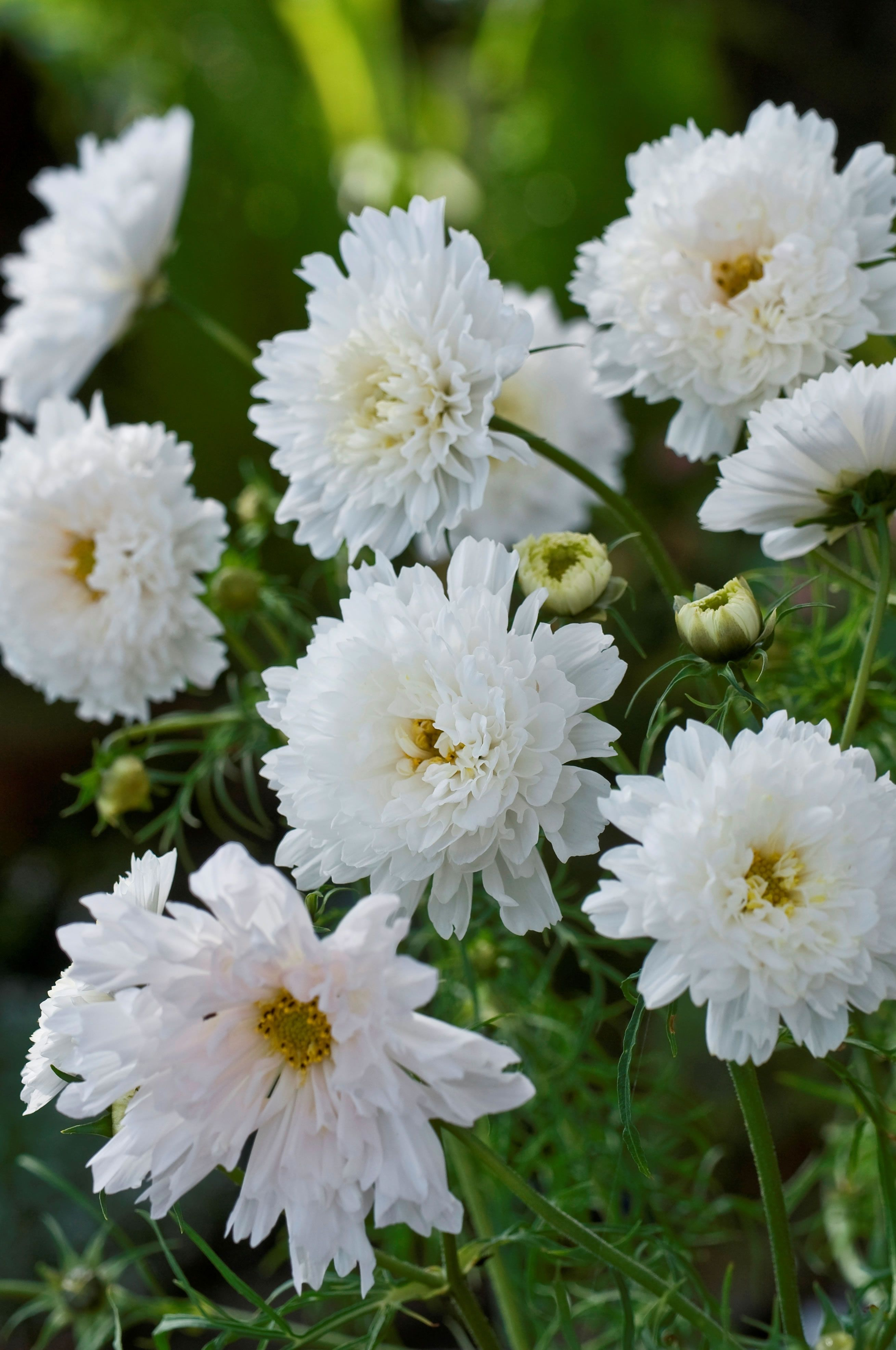 Cosmos double click snow puff garden flowers pinterest cosmos double click snow puff izmirmasajfo