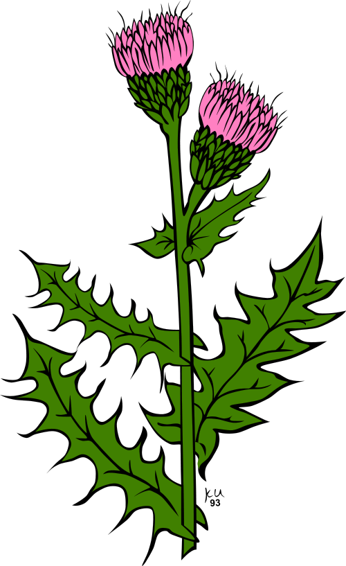 canada thistle cirsium arvense clipart artistic furniture pinterest rh sk pinterest com thistle clipart black and white thistle clipart free