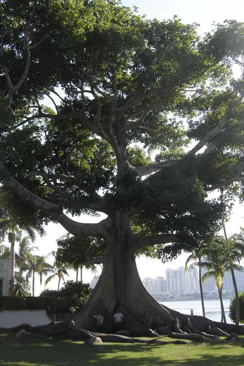Kapok Tree - Ceiba pentandra is a tropical tree of the order