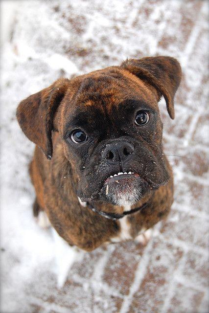 Boxer Dog With Underbite Looks Like