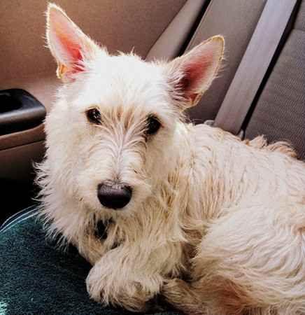Dd 408 Scolden Terrier Golden Retriever Scottish Terrier