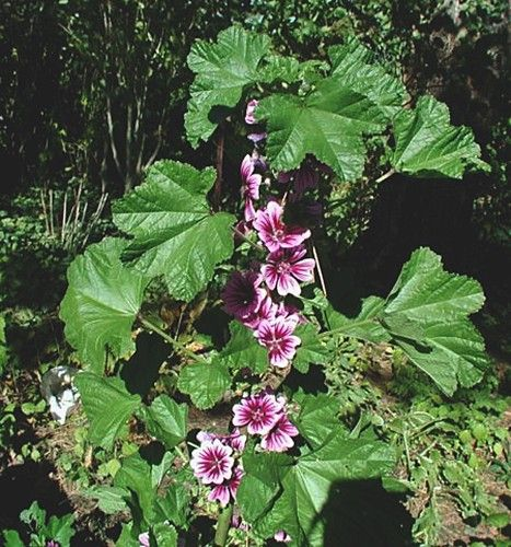 Native Ontario Plants: High Mallow (Malva Sylvestris) In Ontario. Leaves, Shoots