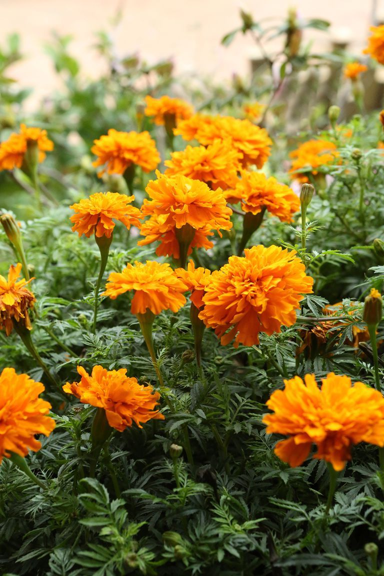 The 15 best annual flowers you need to plant in your yard for the fast growing marigolds are vibrant annual flowers that have 15 or more blooms per plant izmirmasajfo