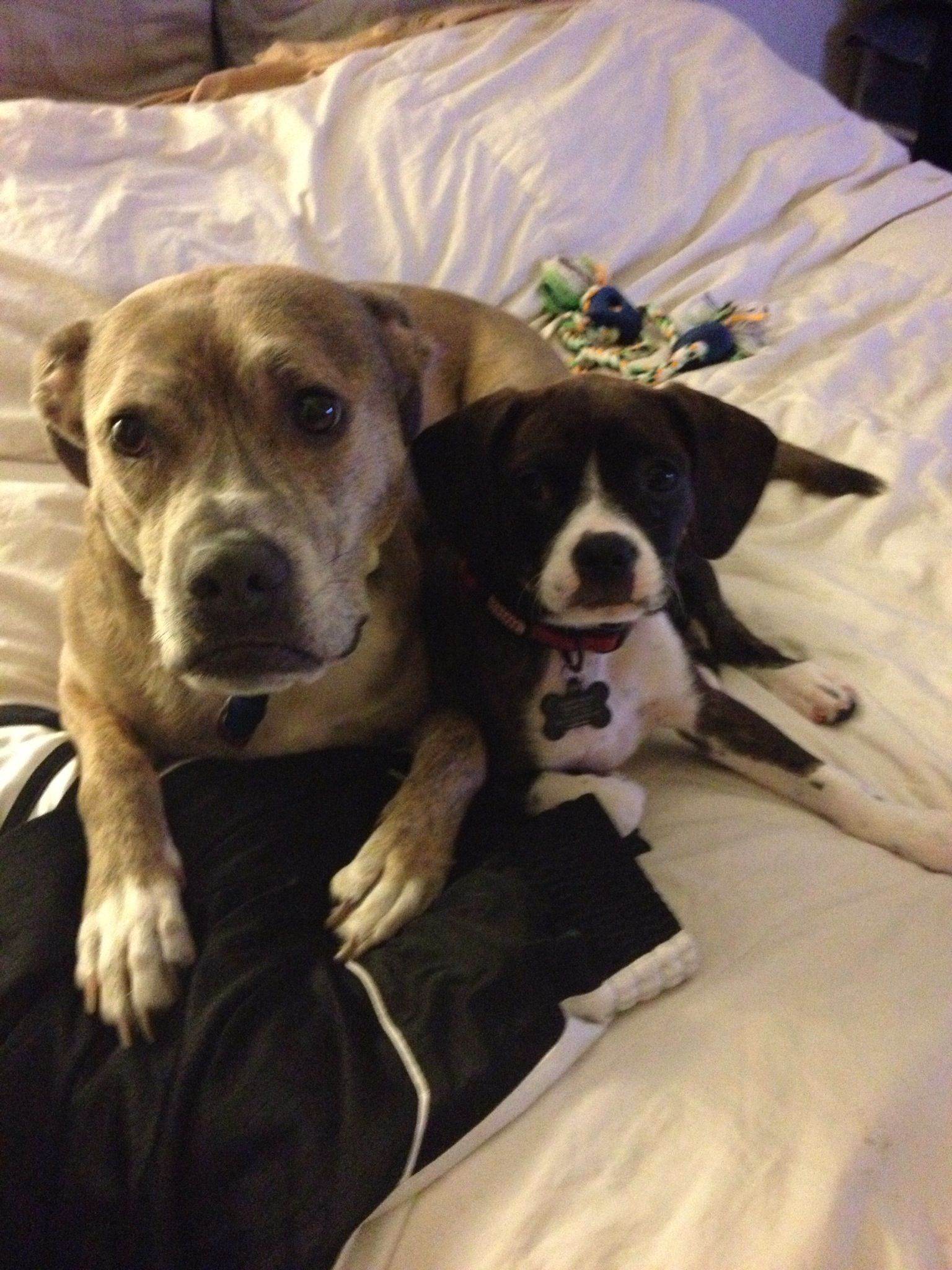 Best Buddies Boston Terrier And Cavalier King Charles Spaniel Mix
