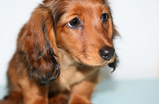 Red Brown Miniature Dachshund Puppies Uk Long Haired Dachshund