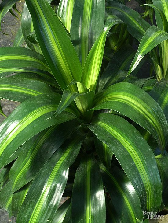 23 of Our Favorite Low-Light Houseplants | Indoor trees ... Names Of Low Light Houseplants on low light plants, low light shrubs, low light succulents, low light vines, low maintenance indoor plants, low light weeds, low light flowers outdoors, low light garden, low light bromeliads, low palm bushes, low light health, low light tropicals, low maintenance shade plants, low light trees, low light bonsai, low light cactus, low light roses, low light landscaping, low light orchids, low light palms,