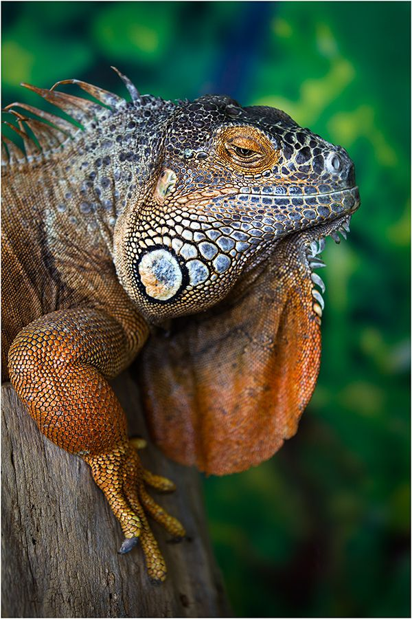 Iguana By Wanderingval Animals Beautiful Iguana Reptiles Pet