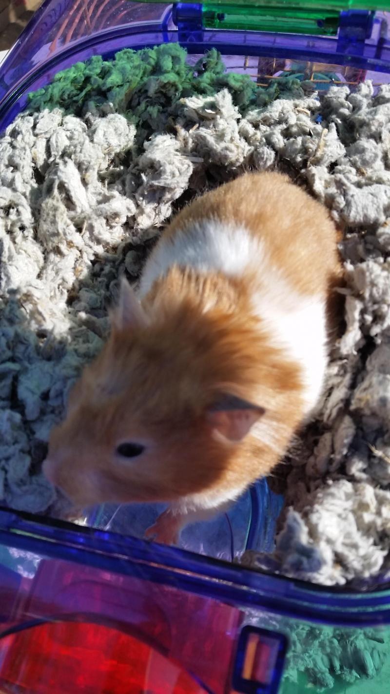 Adopt Jubilee On Petfinder Bear Hamster Cute Hamsters Hamster