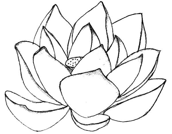 lotus flower coloring pages free
