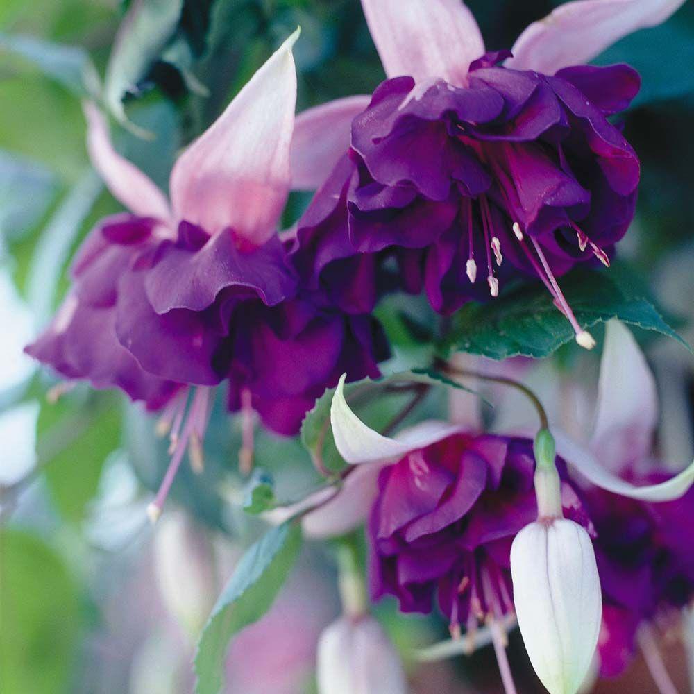 Fuchsia Deep Purple Giant Fuchsia Plant Types Of Purple