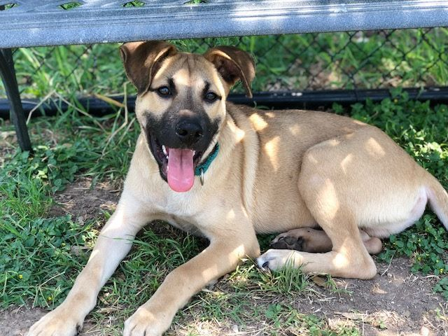 SUPER URGENT -PUPPY ALERT-*** On Pre -Euthanasia List!!***  Reason: 3 months on shelther!! A477091 Thumper 5 month old black mouth cur blend-San Antonio TX- #blackmouthcurdog SUPER URGENT -PUPPY ALERT-*** On Pre -Euthanasia List!!***  Reason: 3 months on shelther!! A477091 Thumper 5 month old black mouth cur blend-San Antonio TX- #blackmouthcurdog SUPER URGENT -PUPPY ALERT-*** On Pre -Euthanasia List!!***  Reason: 3 months on shelther!! A477091 Thumper 5 month old black mouth cur blend-San Anton #blackmouthcurdog