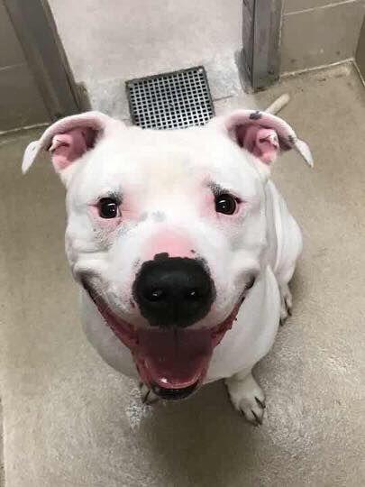 American Bulldog Dog For Adoption In Springfield Il Adn 736729