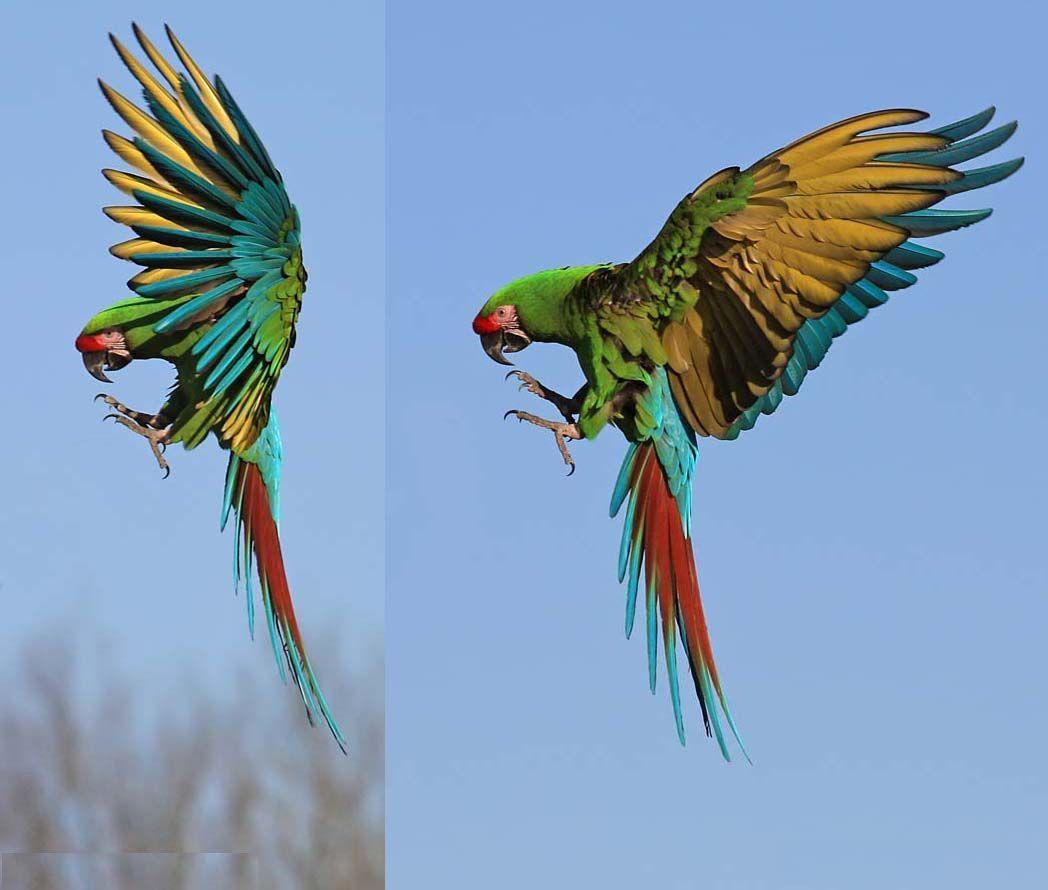 Military macaw (Ara militaris boliviana)   Refugio Los Volcanes, Santa Cruz  department (