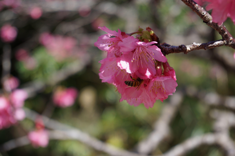 桜とミツバチ。