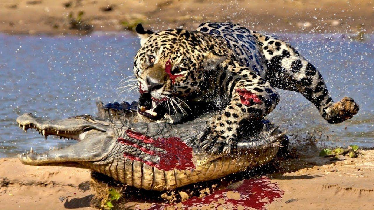 Best Moment Leopard Lion Jaguar Vs Crocodile Fights