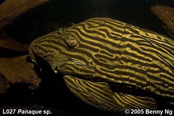 New Interest In Plecos Aquarium Catfish Aquarium Fish Tropical Aquarium