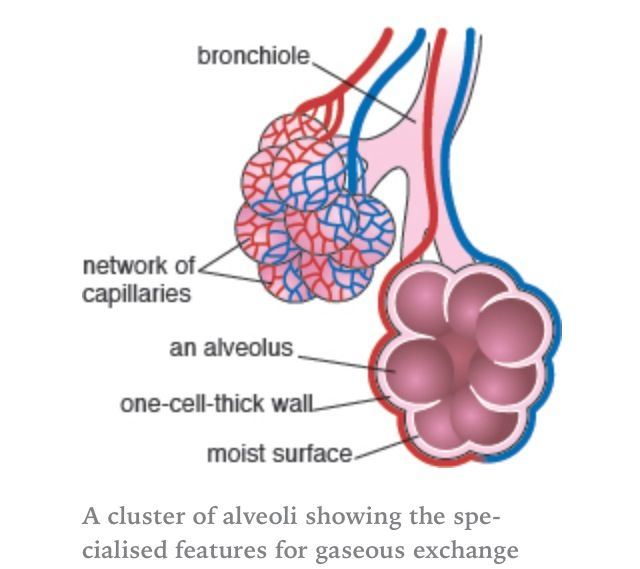 Alveoli Air Sacs Massively Increase The Surface Area Of The Lungs