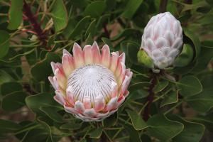 Up Your Garden S Beauty Quotient With These Flowers Protea Flower Flowers African Plants