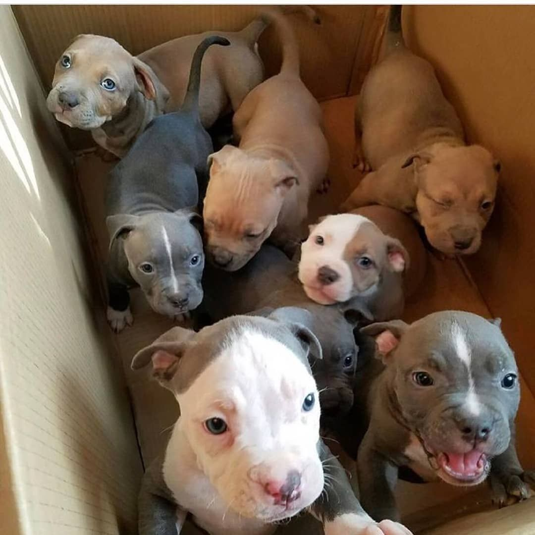 Pit Bulls Puppies Pitbullspuppies1 Pitbull Pitbullsofinstagram