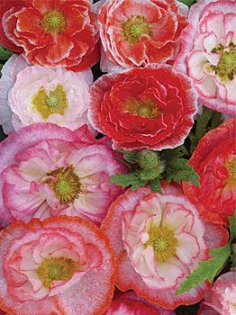 """Poppy 'Falling In Love Mix' Papaver - Very pretty variety and super easy to grow. Sow the seeds in a sunny spot and you will be rewarded year after year as they self sow. Height 12"""""""