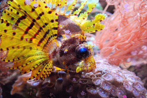 Rare Unusual Reef Safe Fish Reef Safe Fish Fish Lion Fish