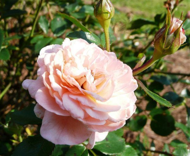 Drift roses are lowmaintenance disease resistant and produce an abundance of flowersabundance