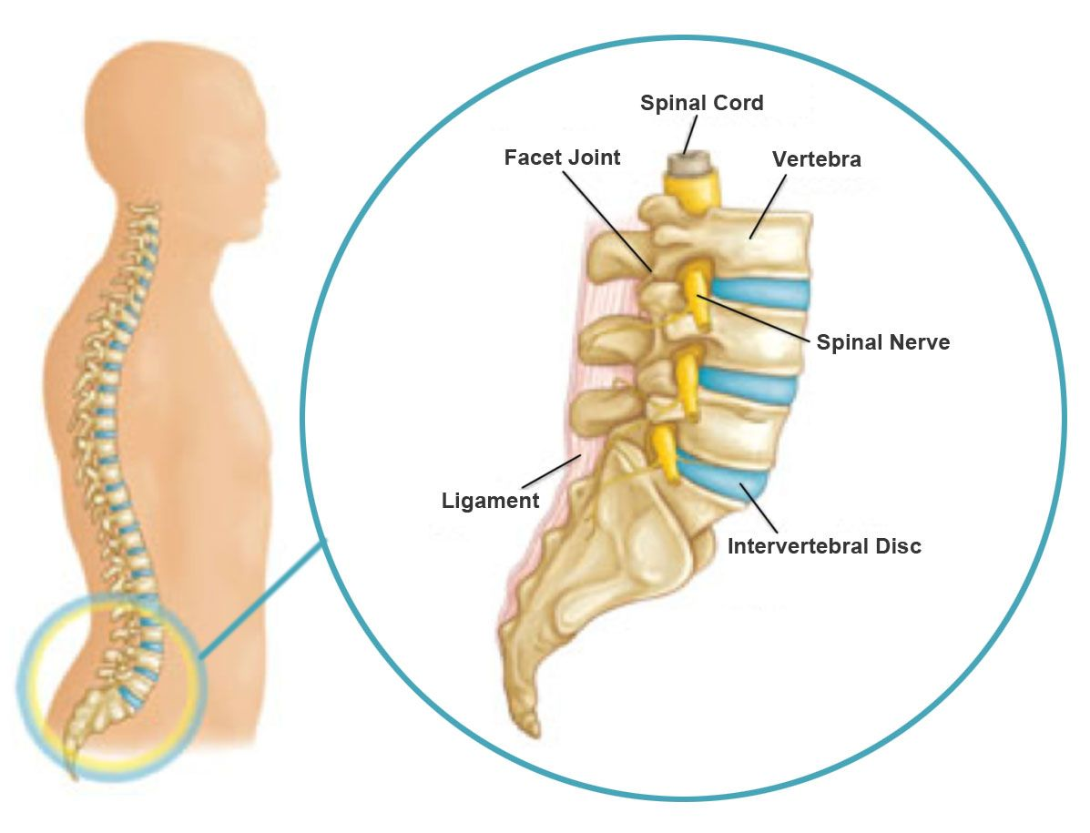 Image Result For Spinal Cord Vertebrae Model Anatomy Spinal