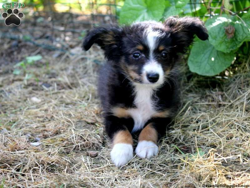 Snickers Chihuahua Mix Puppy For Sale In Pennsylvania Chihuahua Mix Puppies Puppies Toy Australian Shepherd