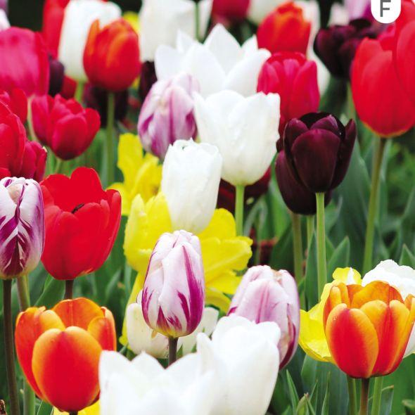 Tulipe triomphes variées (lot de 25) Fleurs printemps