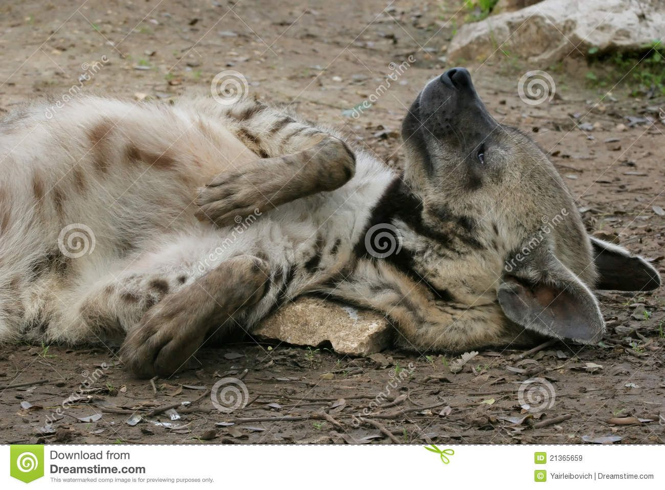 Striped Hyena Royalty Free Stock Images Image 21365659