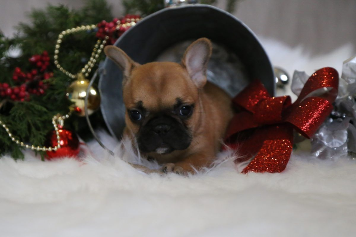 Puppies Christmas Puppyforsale Angelica A Female Akc French