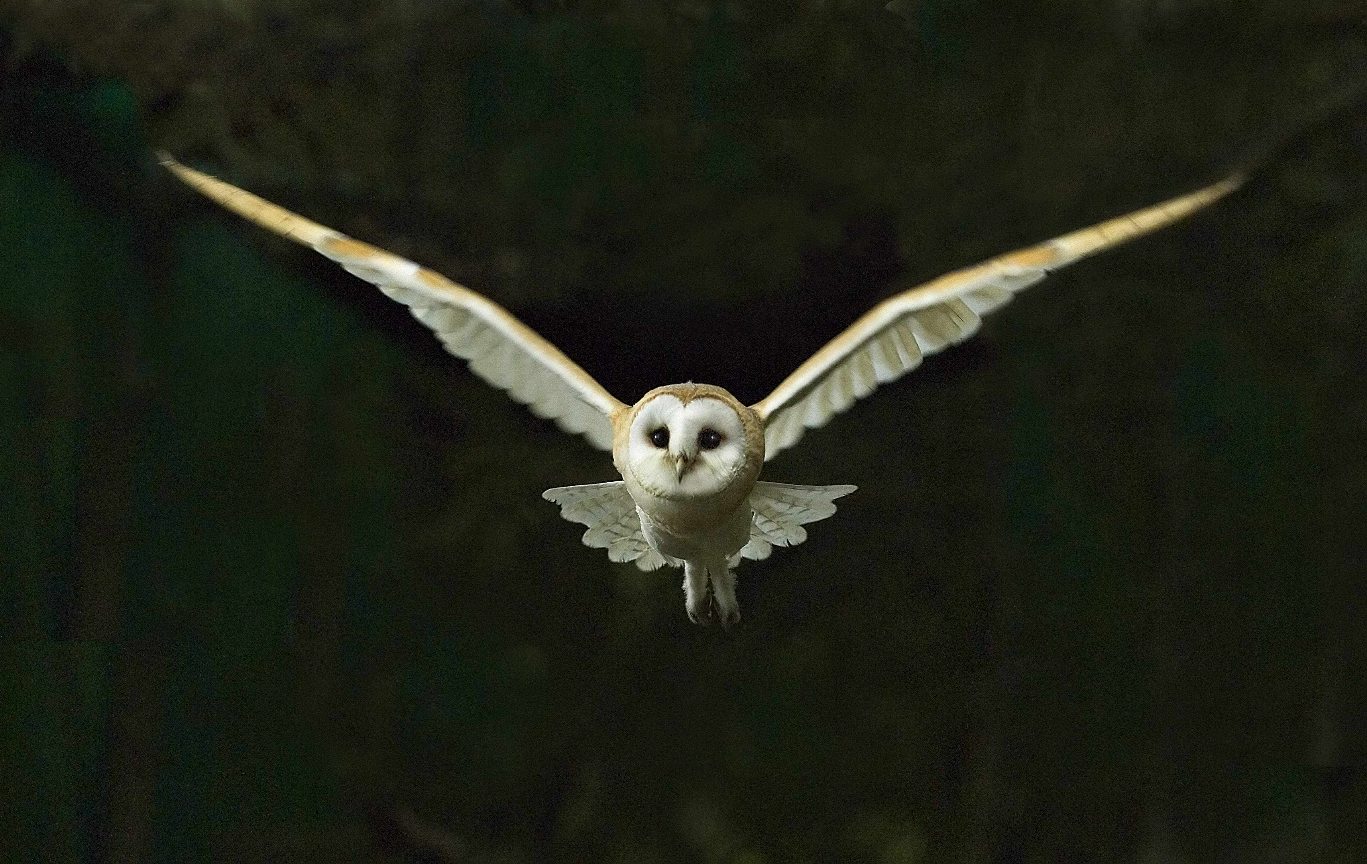 For Flying Barn Owl Drawing Owls
