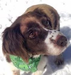 Ginger Is An Adoptable English Springer Spaniel Dog In Rochester
