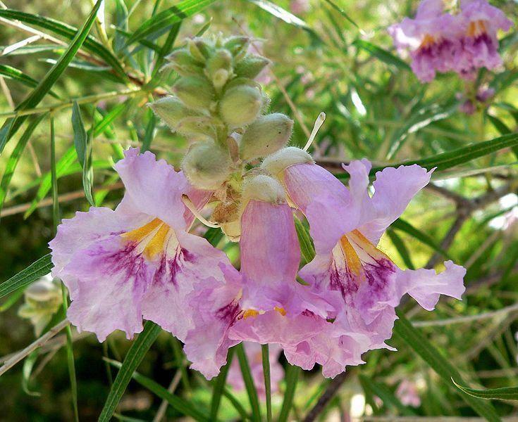 Chilopsis linearis, Desert Willow, Orchid of the Desert, Desert Catalpa, Flowering Willow
